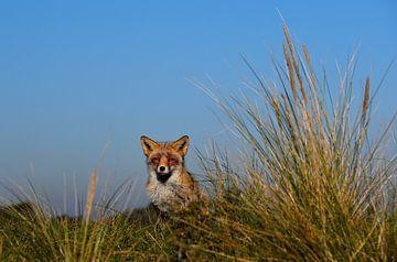 Nieuwsgierige vos. van Patrick Hartog