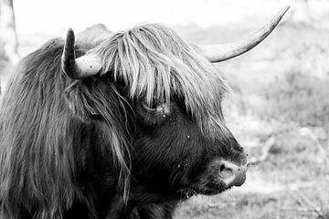 Porträt einer schottischen Highlander-Kuh in Schwarz-Weiß / Rinder von KB Design & Photography (Karen Brouwer)