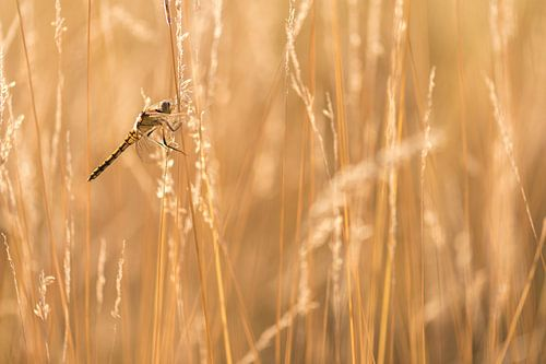 Zwarte heidelibel met tegenlicht von Erik Veldkamp