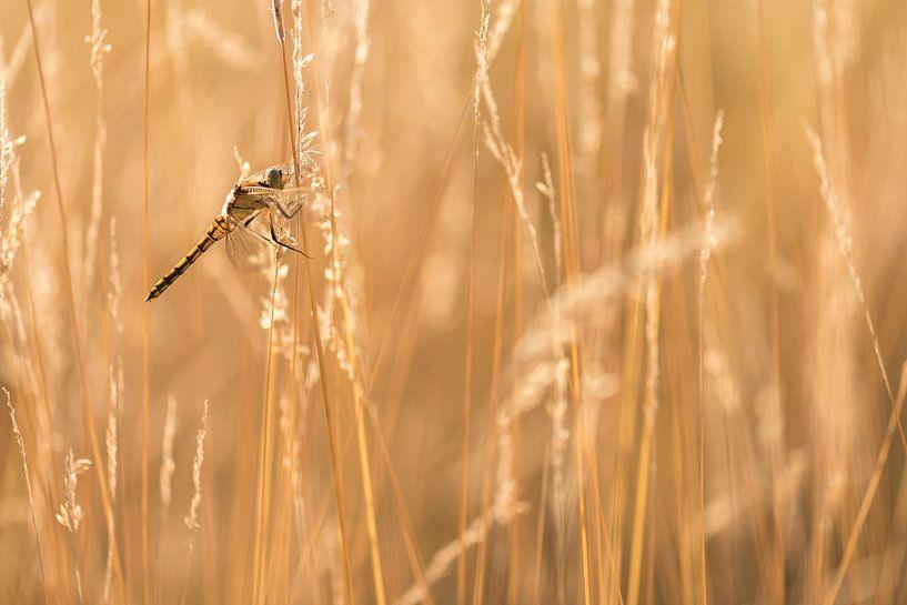 Zwarte heidelibel met tegenlicht van Erik Veldkamp