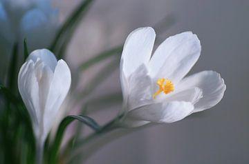 Snow White Spring van