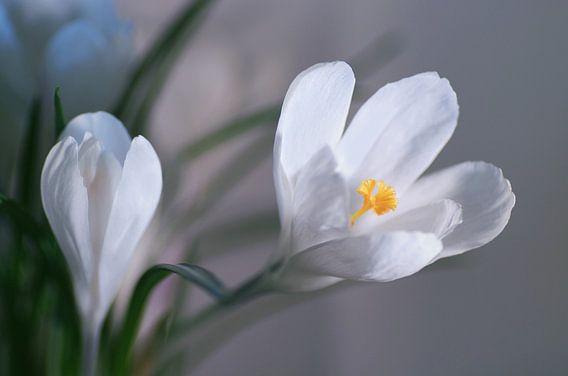 Snow White Spring