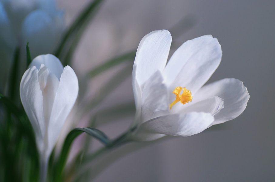 Snow White Spring van Marlies Prieckaerts