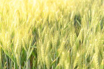 Frische Weizenpflanzen, die im Frühling auf einem Feld wachsen von Sjoerd van der Wal