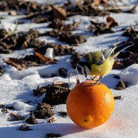 Blaumeise mit Orange von Anjo ten Kate