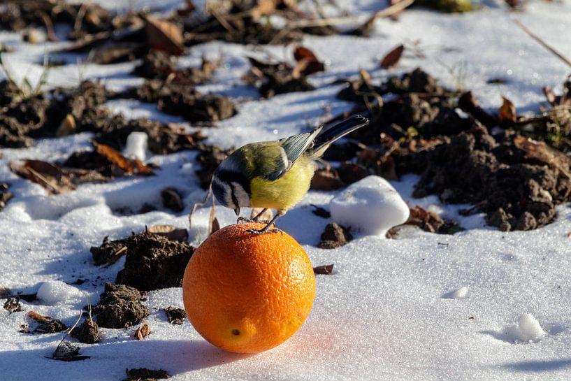 Mésange bleue avec orange sur Anjo ten Kate