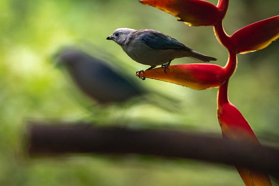 Vogels in botanische tuin Quindío