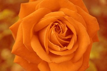 Rose - digital bearbeitet van Babetts Bildergalerie