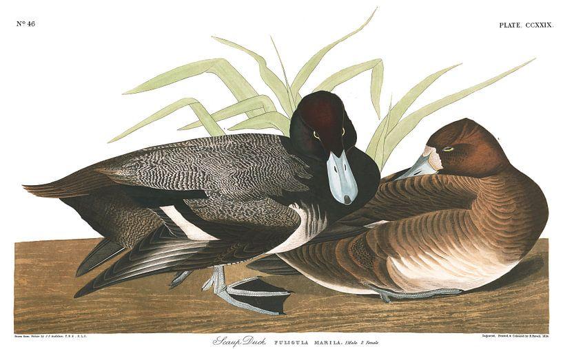 Petit Fuligule sur Birds of America