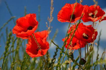 Poppies sur Jaco Verheul