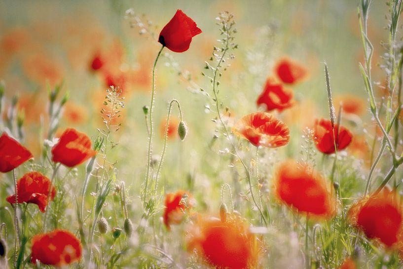 klaprozen /poppies van Els Fonteine