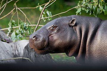 Gros plan sur le museau d'un hippopotame mignon, les yeux sur un fond de verdure. L'hippopotame pygm sur Michael Semenov