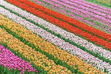 Gekleurde tulpenvelden van Patrick Verhoef