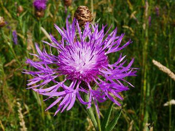 Knopfblume mit einer anderen Blütenform. von Wim vd Neut