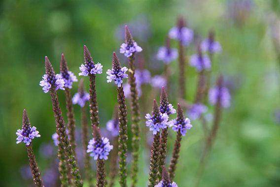 Lila bloementjes van Lotte Veldt