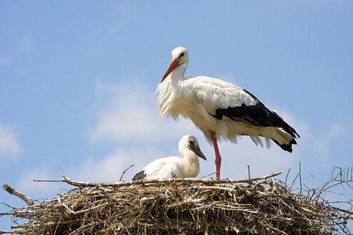 Ooievaar met jong op nest van