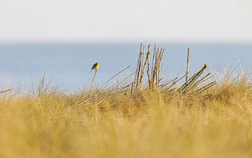 Gelbe Bachstelze genießt die Aussicht von Karin Bijpost