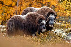 Moschusochse in Norwegen