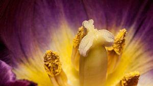 paarse tulp met gele kern van mick agterberg