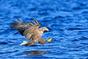 Zeearend (Haliaeetus albicilla) jaagt over het water met uitgestoken klauwen