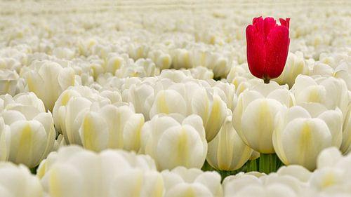Eine verirrte rote Tulpe zwischen den weißen Tulpen