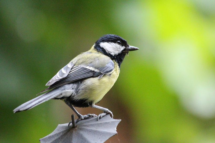 Koolmees - Vogels van Fotografie Sybrandy