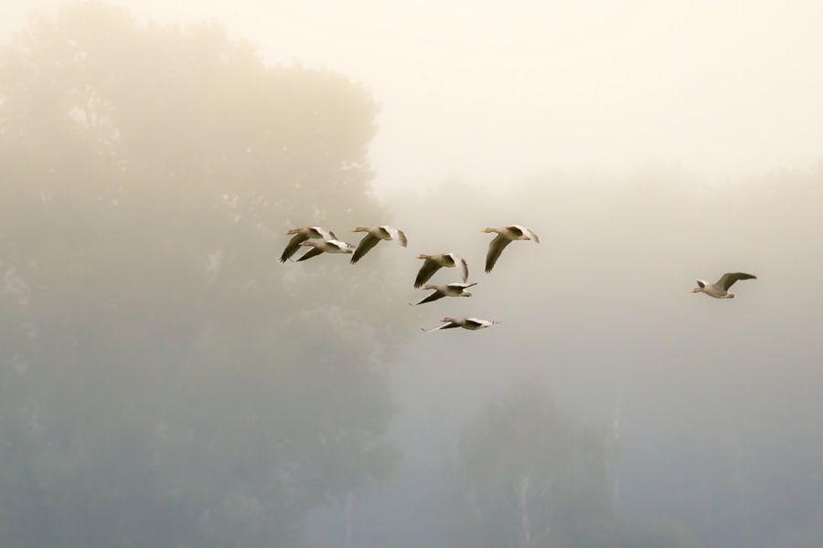 ganzen in de mist van jowan iven