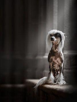 Chinesischer Schopfhund in der Abtei von Nuelle Flipse
