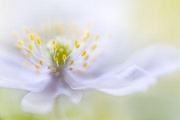 Anemone Beauty, Mandy Disher van 1x