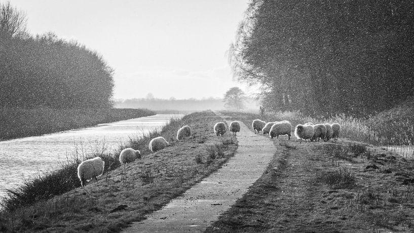 Schapen op de dijk (BW) van Martzen Fotografie