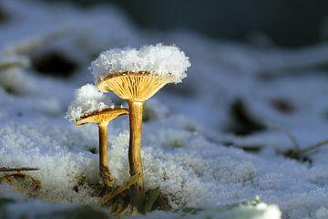 Pilze im Schnee von Gerhard Albicker