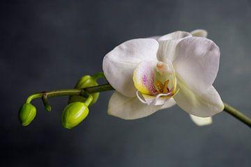 Orchidea von An Ritchie