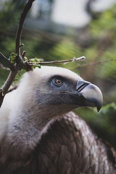 Portrait d'un vautour fauve Griffon sur Pim Haring