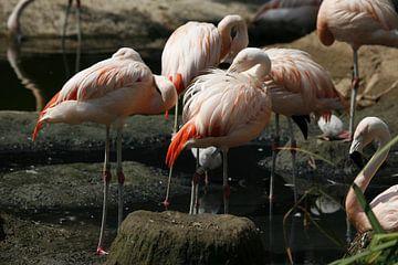 Flamingos von Suzana Luttermann