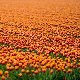 Koninklijke Tulpen von VanEis Fotografie