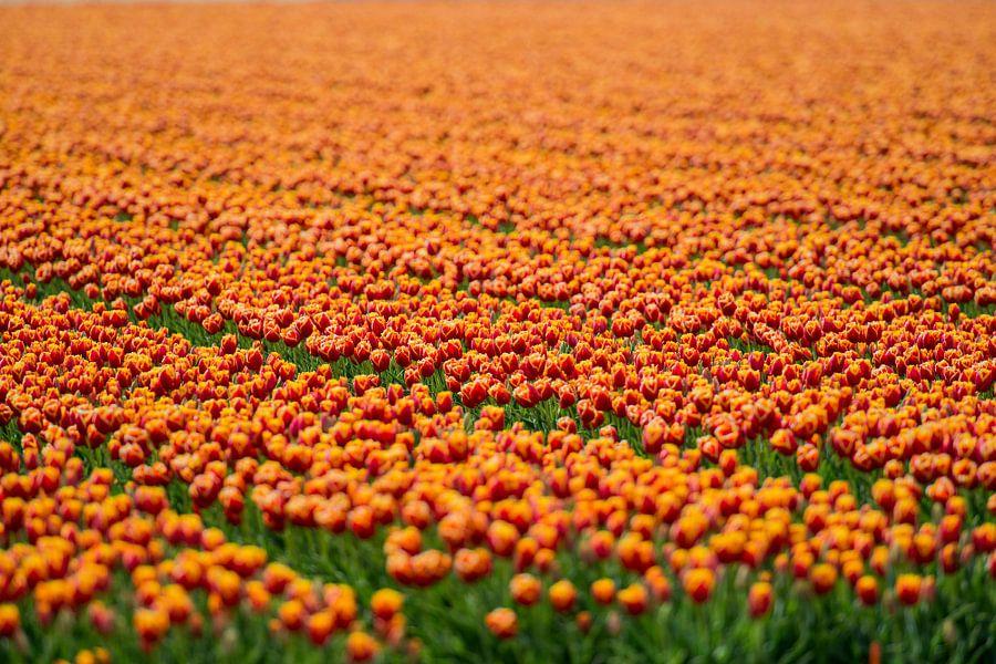 Koninklijke Tulpen van VanEis Fotografie