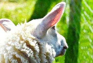 Schaf und Morgensonne van