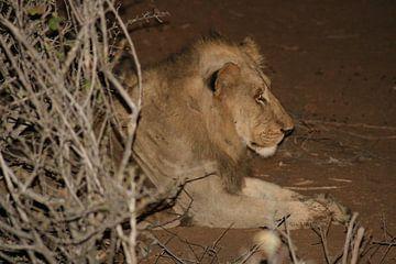 Leeuw in Krugerpark Zuid Afrika van Sandra van Vugt