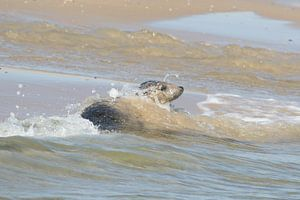 Grijze zeehond , Grey Seal
