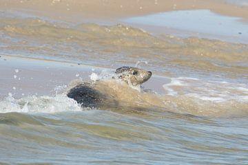 Grijze zeehond , Grey Seal van Art Wittingen