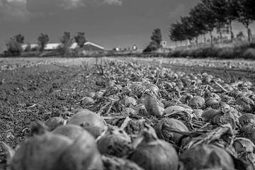Wartende Zwiebeln aus Zeeland von Roland van Tilborg