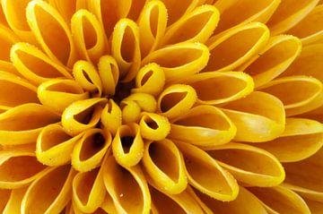 Chrysantheme von Anita van Hengel