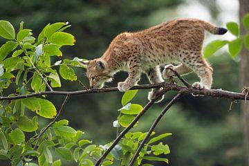 Luchs ( Lynx lynx ), junge Katze, balanciert auf Samtpfoten über einen Ast, Europa. von wunderbare Erde