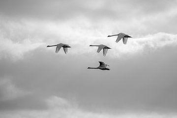 Knobbelzwanen in de vlucht (Cygnus olor) van Eric Wander