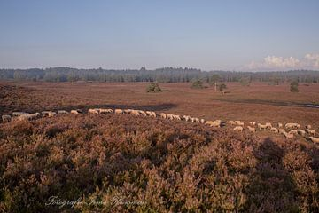 Heerlijk met de schapen mee von Irma Huisman