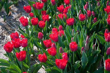 Rode tulpen in de zon van Arthur Wijnen