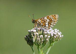 Alpenparelmoervlinder op schermbloem van