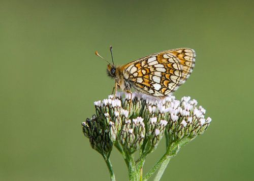 Alpenparelmoervlinder op schermbloem