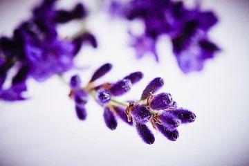 Lavendelblüte van Andreas Gerhardt
