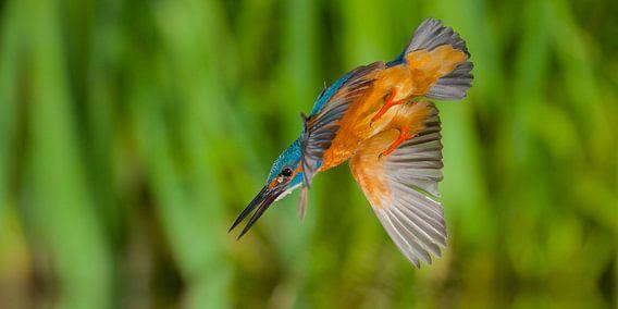 IJsvogel - In een flits